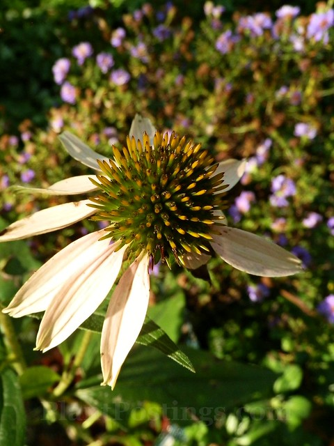 coneflower autumn 2