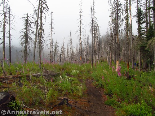 New growth in the burned out forest along the Mazama Trail in Mt. Hood National Forest, Oregon
