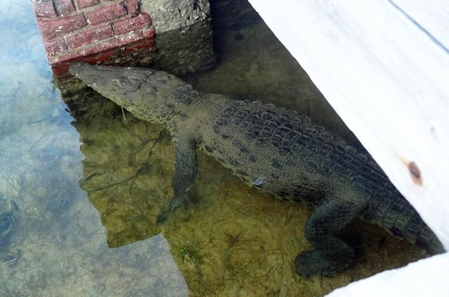 dry-tortugas-crocodile