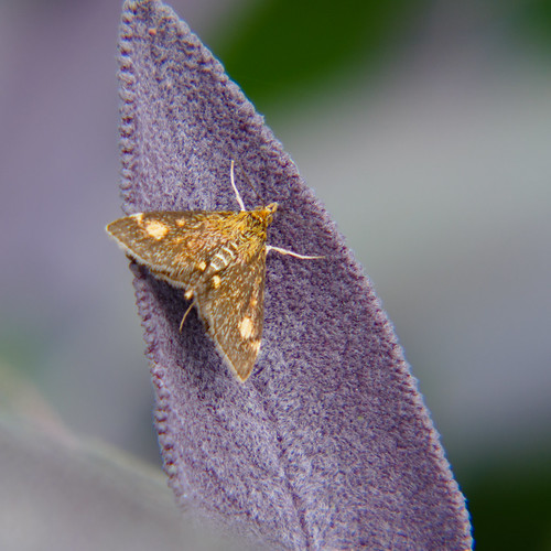 Tiny moth on sage leaf