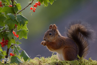 squirrel with red currant  in shadows