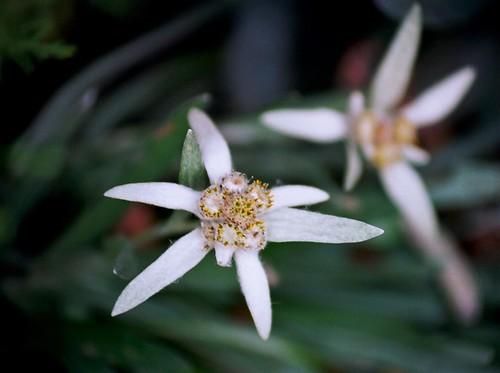 Leontopodium nivale subsp. alpinum - edelweiss  36062243420_d9f114f5b1