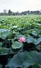 The lotus flower of Shinobazunoike pond,Ueno,Tokyo 2017/07 No.10(taken by film camera). by HIDE@Verdad