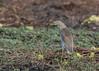 Squacco Heron by tickspics 