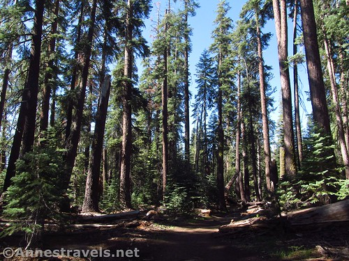 The North Dome Trail through the pines in Yosemite National Park, California