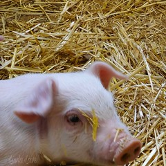 One of the three little pigs