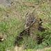 92 Mallard Ducklings The Maggot, Nairn 070517