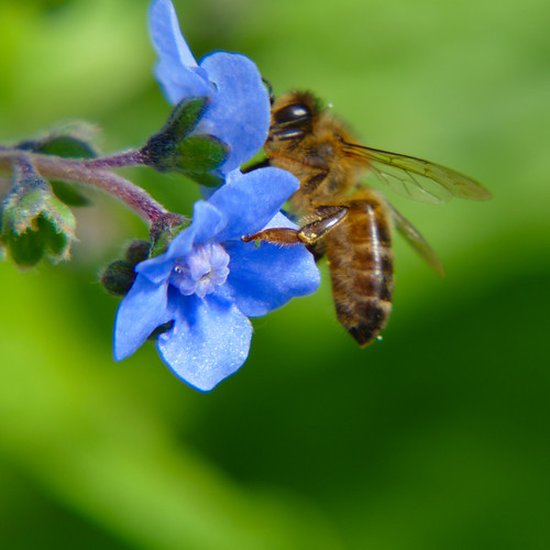 Forget-me-not with bee collecting