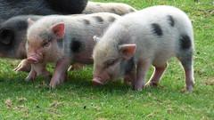 Cerza Zoo - piglets (3)