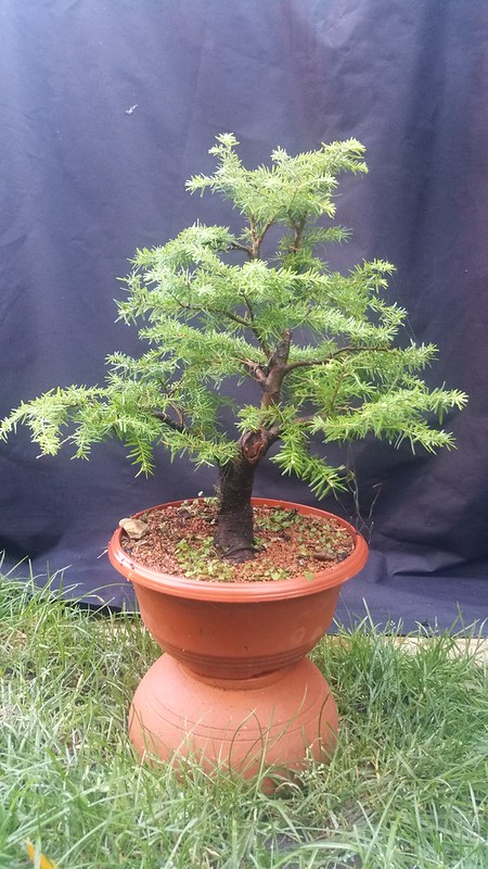 Tsuga Hemlock Or Extending Growth Type Clip And Grow Strategies
