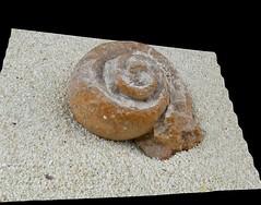 Snail fossil in the desert