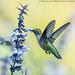 Ruby Throated Hummingbird (20170924-DSC08984)