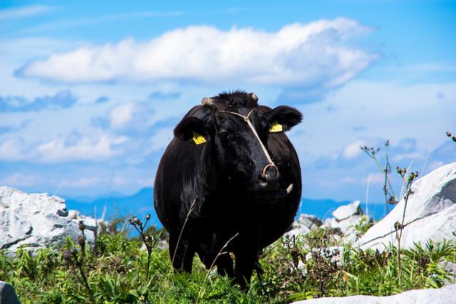 天狗高原の牛