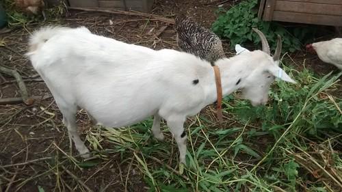 Pregnant goat Aug 17