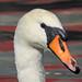 Swan at Paper Mill lock, Little Baddow, Essex