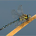 Small photo of Migrant Hawker (Aeshna mixta) Dragonfly
