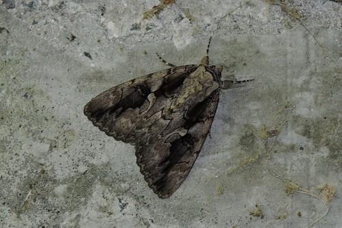 Catocala amatrix – Sweetheart Underwing Moth