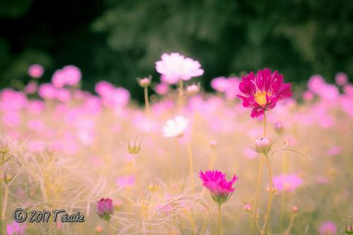 作例:コスモス 。 #万博公園 、 #花の丘 にて。