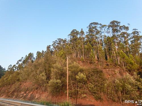 Eucalyptus (2017.07.17) Portugal 004