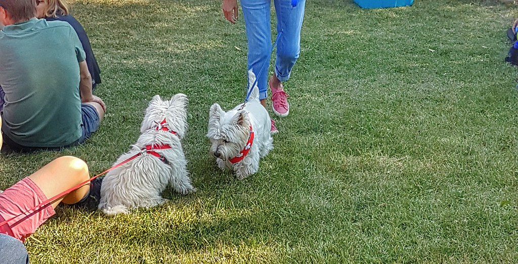 Winnipeg westie walk meeting 2