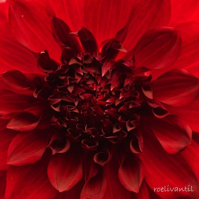 Rode dahlia/Red Dahlia
