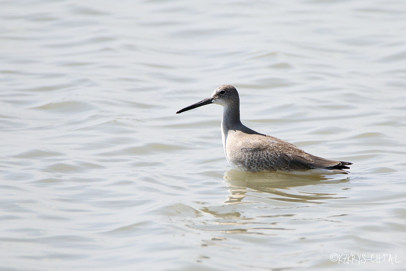 IMG_7384Willet