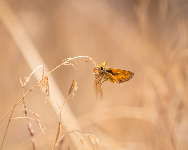 butterfly (skipper?)