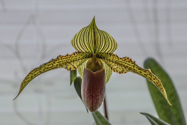 Frauenschuh (Orchid)