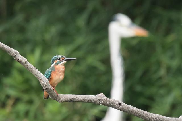 20170826-Kingfisher-DSC_1063