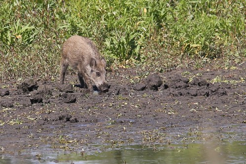 Junges Wildschwein , NGID1663944764