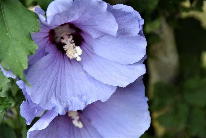 Hibiscus 06.08 (2)