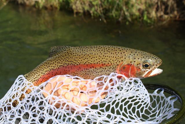 Mckenzie river rainbow trout