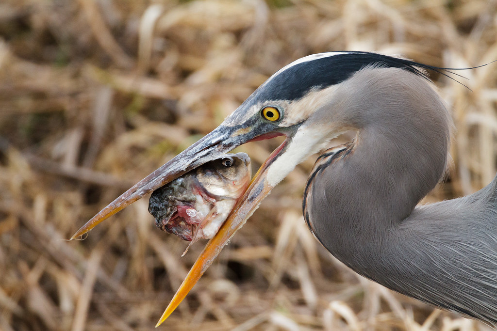 A great blue heron holds a fish head in its beak
