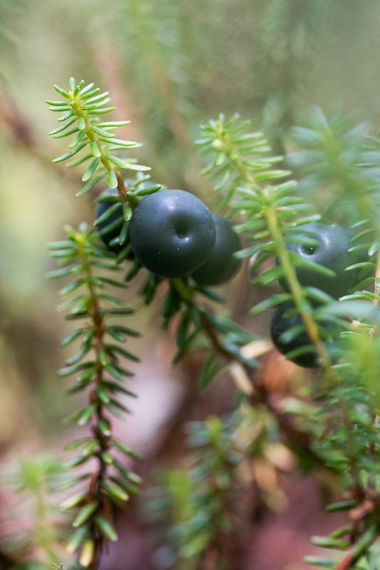 Black crowberry, Empetrum nigrum