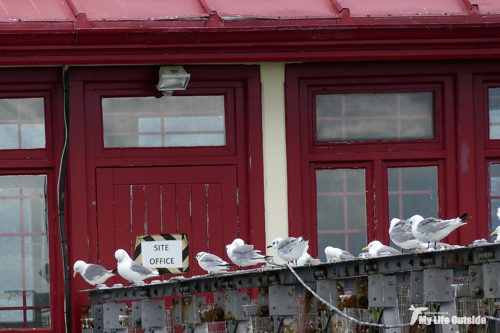 P1100916 - Kittiwakes, Mumbles Pier