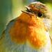 Sun bathing Robin
