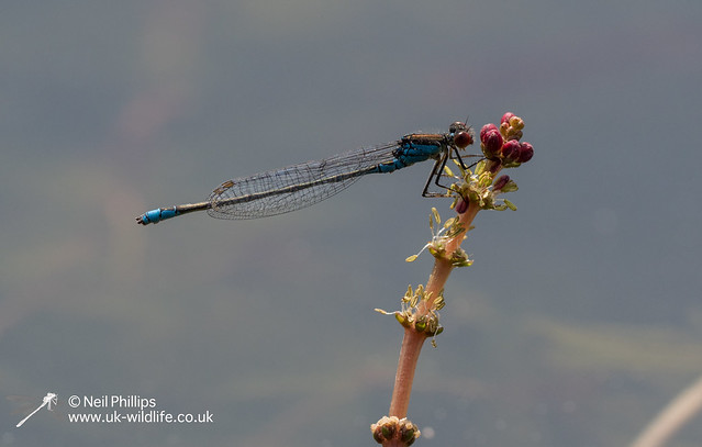 Small Red eyed damselfly