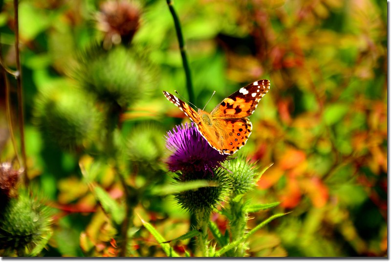 Butterfly and thistle 2