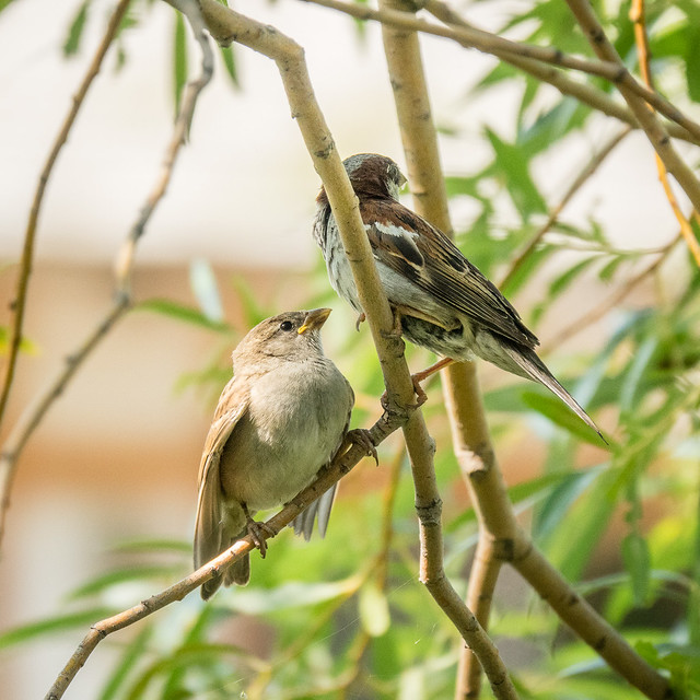 adult and young sparrow