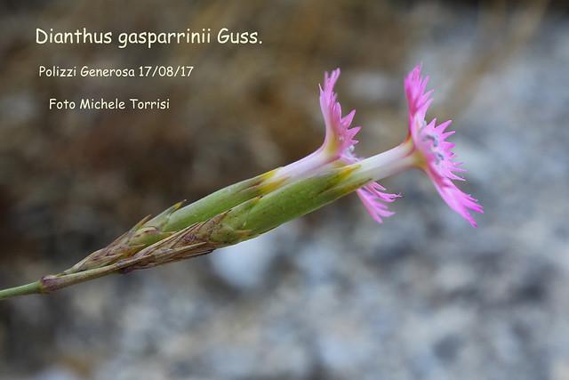 Q84A8767  Dianthus gasparrinii-001