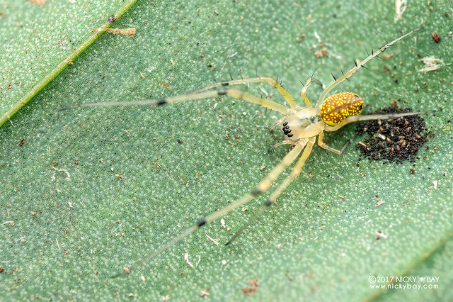 Big-jawed spider (Mesida sp.) - DSC_7954
