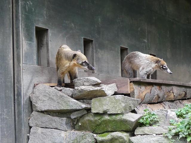 Nasenbären, Zoo Prag