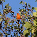 Hepatic Tanager B306860focPr por jvpowell