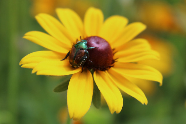 beetle upright in the cone of a black-eyed susan