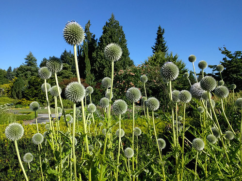 Blue globe thistles at Van Dusen