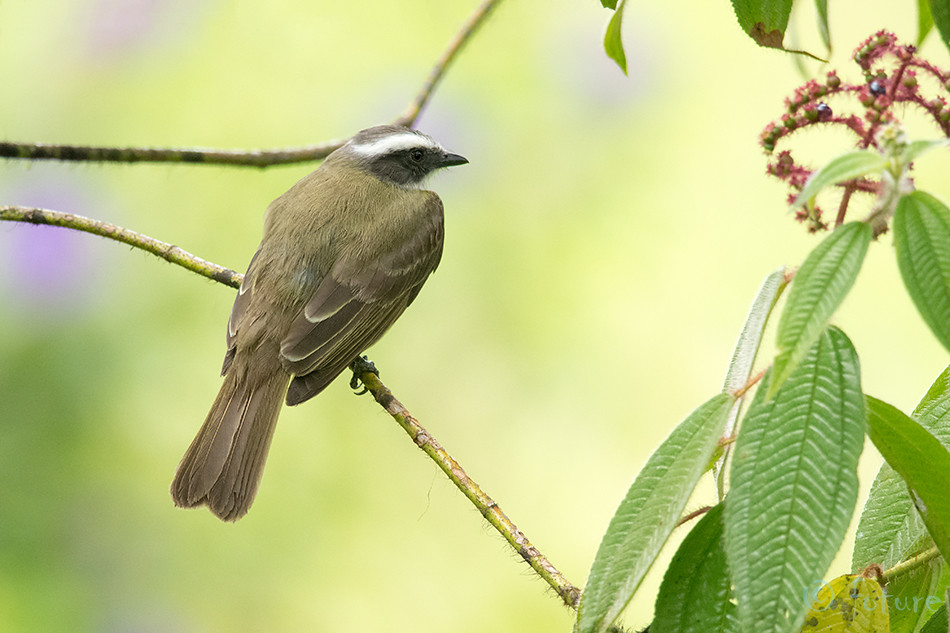 Kime, masktikat, Myiozetetes, similis, Social, Flycatcher, Vermilion, crowned, Sarapiqui, valley, Costa, Rica, Kaido Rummel