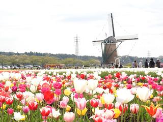佐倉チューリップフェスタ 1 オランダ風車14