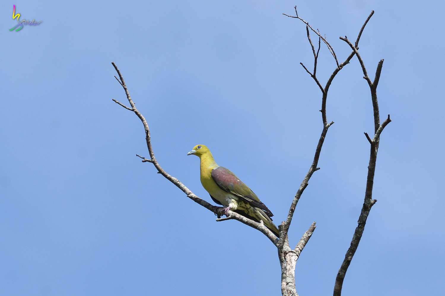 Japanese_Green_Pigeon_8584
