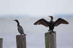 Neotropic and DC Cormorants