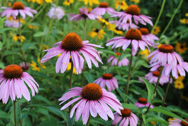 about a dozen large purple coneflowers